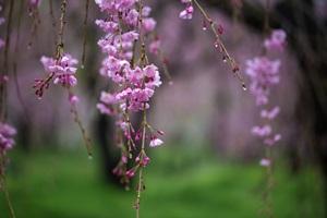 京は花の雨