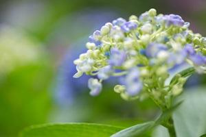 紫陽花のころ 鎌倉あちらこちらへ