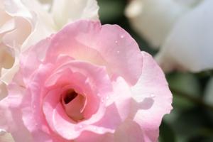 薔薇と花菖蒲