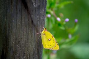 クヌルプ・ヒュッテの蝶
